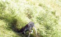 Die Eltern des ersten Schweizer Wolf-Familienrudels am Churer Hausberg Calanda stammen aus dem Oberwallis.